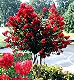 Dynamite Red Crapemyrtle Tree (1 foot tall in trade gallon containers) Flashy red crape myrtle