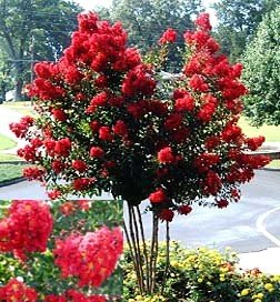dynamite-red-crapemyrtle-tree-1-foot-tall-in-trade-gallon-containers-flashy-red-crape-myrtle