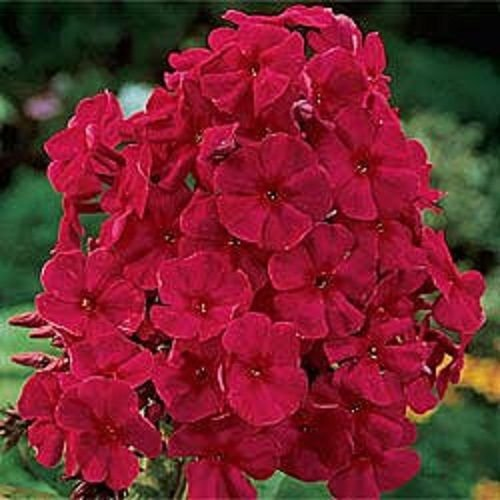 Partial Shade Perennial Flowers - NEW!! 30+ FRAGRANT RED PHLOX FLOWER SEEDS / SHADE PERENNIAL