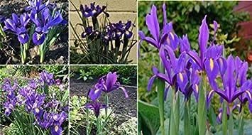 12x Iris Hollandica Blue Blau Blume Zwiebel Garten Blumen Dutch Iris ...