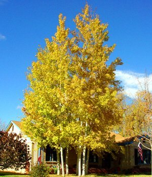 50 Quaking Aspen Tree Seeds, Populus Tremuloides by Seeds and Things NOTE: SEEDS ARE VERY SMALL