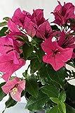 Rijnstar Pink, Bougainvillea Plant (flowers, hanging basket, bush, trellis, patio tree, vine) (5 Gal Trellis)