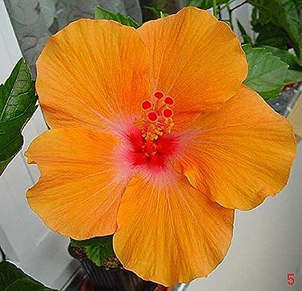 Nelesa Gardening Live Dwarf Orange Hibiscus Flower Plant Amazonin