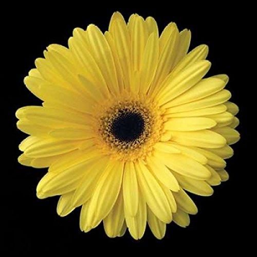 Posterazzi Gerbera Daisy Yellow Poster Print by Jim Christensen (12 x 12)