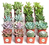 Shop Succulents   Assorted Collection of Live Succulent Plants, Hand Selected Variety Pack of Mini Succulents   Collection of 20