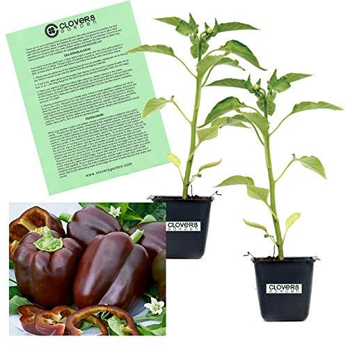 Clovers Garden 2 Chocolate Beauty Bell Pepper Plants Live - 4