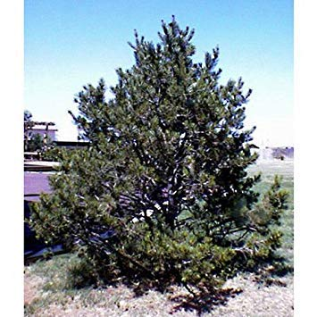 ANVIN Germination Seeds:50 Pinyon Pine Tree Seeds, Pinus Cembroides Edulis