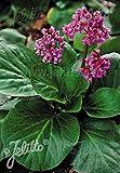 Bergenia crassifolia 500 seeds