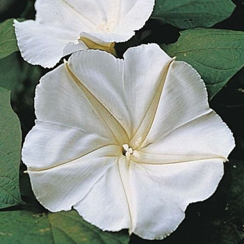 Wholesale Calonyction aculeatum MOON FLOWER VINE Seeds! for cheap