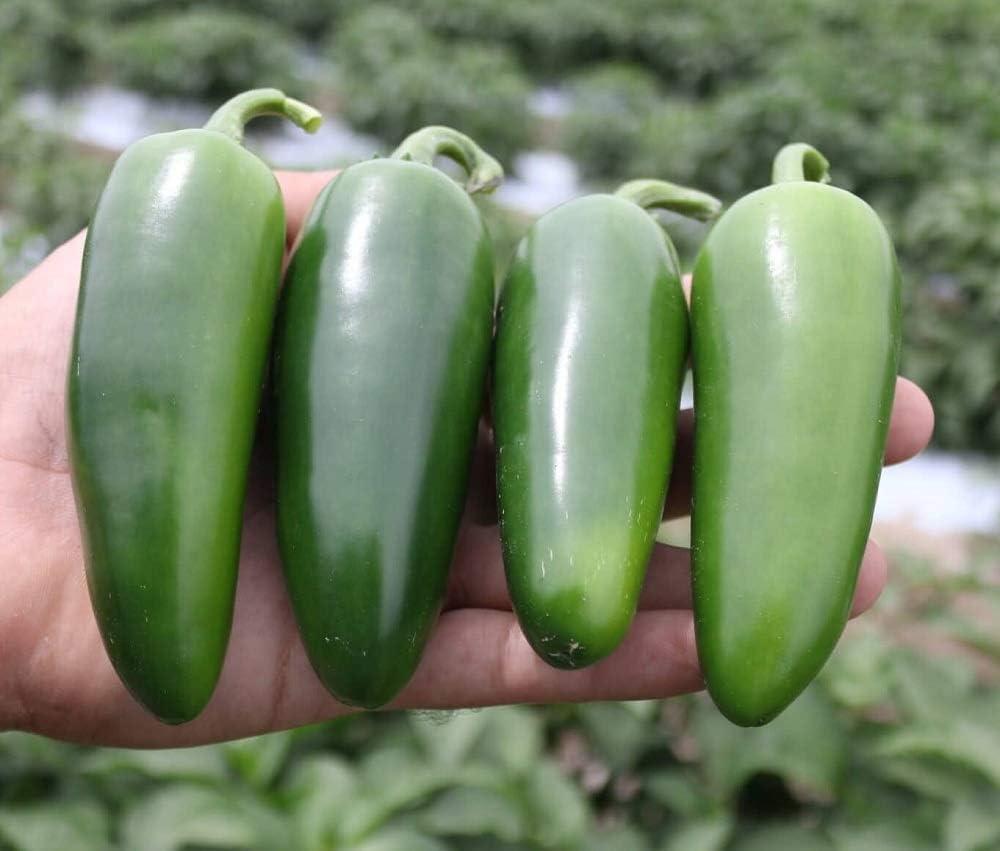 David's Garden Seeds Pepper Jalapeno Orizaba 3360 (Green) 25 Non-GMO, Hybrid Seeds