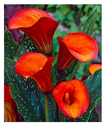 Flame Calla Lily - Yellow and Flame Red