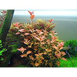 Ludwigia Repens 'Ovalis' - Live Aquarium Plants Freshwater Decorations BUY2GET1FREE