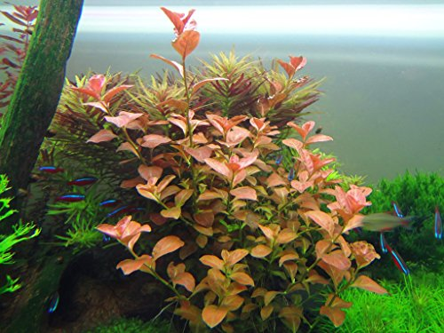 (Ludwigia Repens 'Ovalis' - Live Aquarium Plants Freshwater Decorations BUY2GET1FREE)