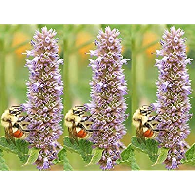 Toyensnow - Anise or Lavender Hyssop Herb Seeds (9700 Seeds or 1/8 oz) : Garden & Outdoor