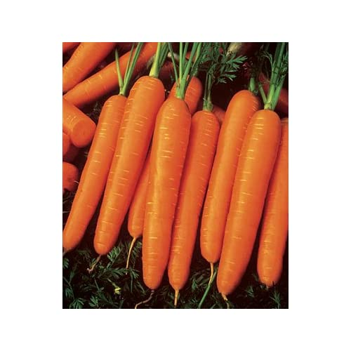 New Jaysseeds™ Heirloom Scarlet Nantes Carrot 200 Seeds #818 Item Upc#650348691745