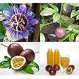 VISA STORE Thai Passion 10 Seeds, Purple Granadilla, Edulis Fruit e
