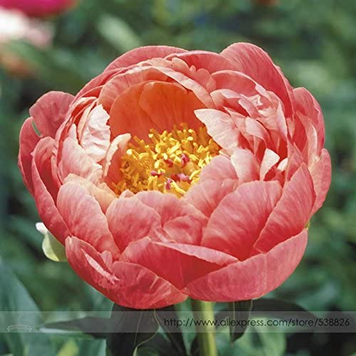 20pcs// bag Mixed Rare Peony Ranunculus Flower Seeds Home Garden Flower ILOE