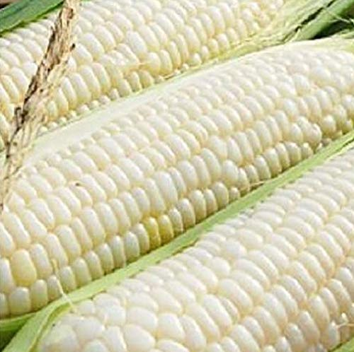 100 Sweet Corn Seeds - Silver Queen - Vegetable Garden Planting by Hill Creek Seeds