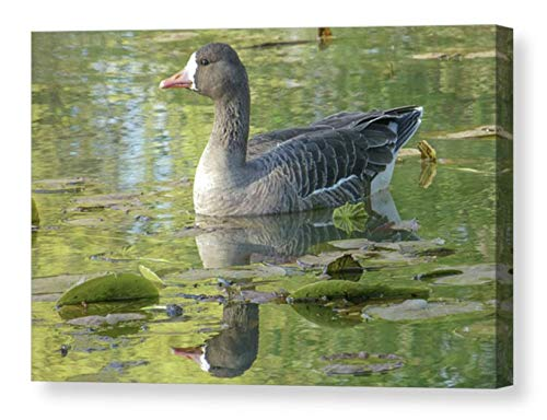 - Domestic Greylag Goose Photo on CANVAS Bird Photographic Print Nature Photography Rustic Gift for Dad Green Lily Pond Plants Grey Wall Decor Ready to Hang 8x10 8x12 11x14 12x18 16x20 16x24 20x30