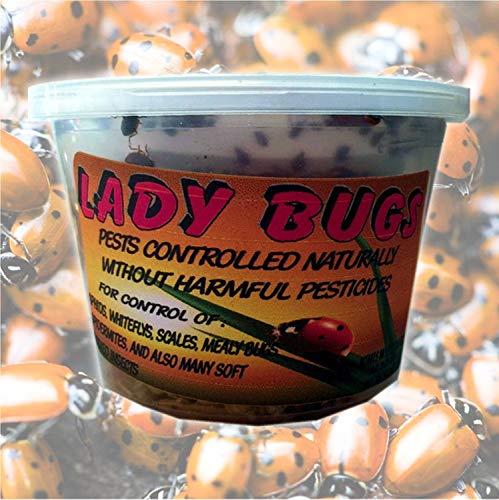 Bazos Live Ladybugs - Good Bugs - Ladybugs