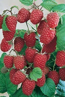 50 Stratified Rouge Giant Raspberry Seeds - JDR Seeds