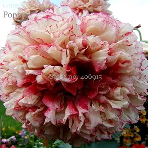 New Rare Flemish Antique Corn Poppy Flowers Seeds, 100+ seeds