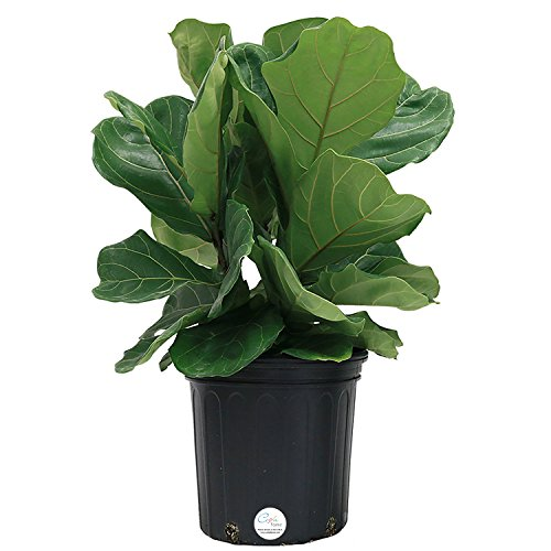 Costa Farms Ficus Pandurata Fiddle-Leaf Fig in 8.75-Inch Grower Pot