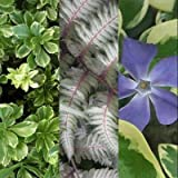 Classy Groundcovers - Shady Variegated Deer Mix #2, 20% off: 50 Variegated Japanese Spurge, 25 Variegated Greater (Large Leaf) Periwinkle, 25 Japanese Painted Fern