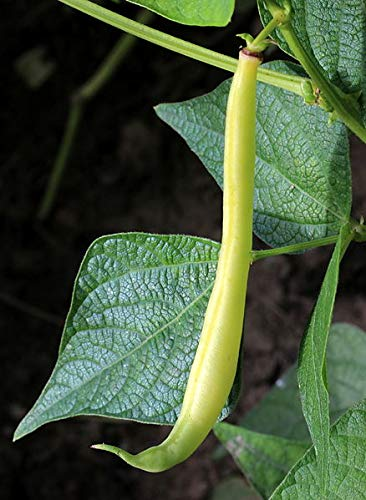 (228 g Seeds of Phaseolus vulgaris, Provider Bush Snap Bean, Bulk Size: 1/2 lb)