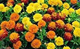 Dwarf French Marigold (1000 Seed Mix) Tagetes patula nana,stay small all summe