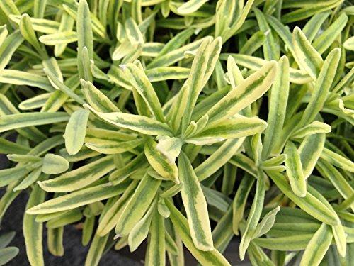 Platinum Blonde Lavender Herb Perennial