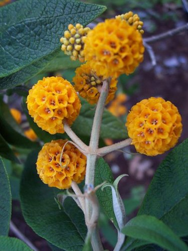 10 ORANGE BALL TREE / GOLDEN BUTTERFLY BUSH Buddleja Globosa Shrub Flower Seeds *Comb S/H