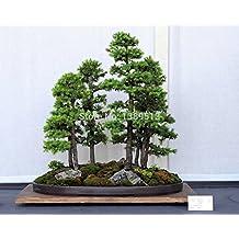 Bonsai seeds 50 pcs Japanese White Spruce Pine, Pinus parviflora, Tree Seeds Bonsai Evergreen DIY Home gardening