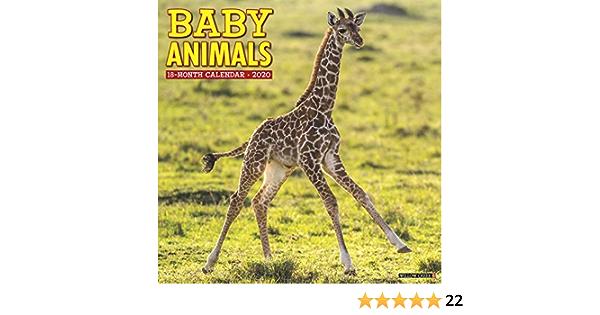 Baby Animals 2020 Wall Calendar Willow Creek Press 9781549205262 Amazon Com Books