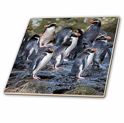 3dRose Danita Delimont - Penguins - New Zealand, Snares Islands, The Snares. Snares crested penguin. - 6 Inch Glass Tile (ct_277141_6)