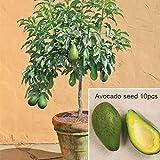Vividy 10pcs/Bag Avocado Seeds Bonsai Green Fruit Seeds Garden Persea Americana Seeds Fruits