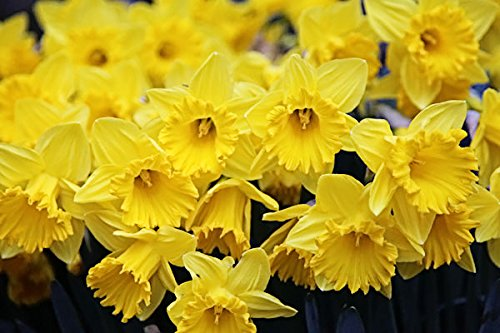 20 Narcissus - King Alfred: Trumpet Daffodil ()