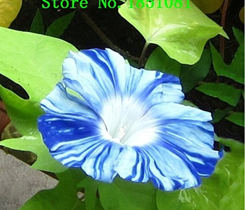 te Blue Stripe Morning Glory Perennial Flower Seeds, Professional Pack 50 Seeds / Pack, Climbing Flower (Morning Glory Perennial)