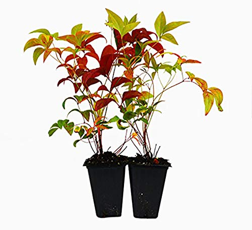 9GreenBox - Nandina Domestica Fire Power (Heavenly Bamboo) - 2 Pack ()