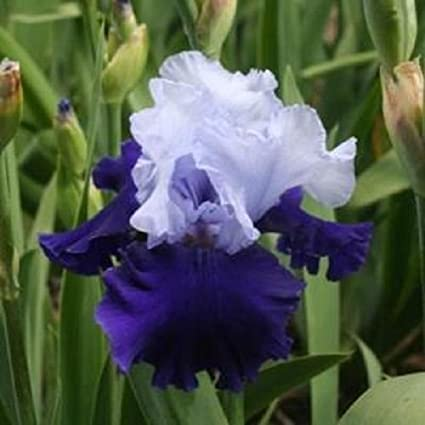 Amazon ride the wind iris flower live plant perennial bulb ride the wind iris flower live plant perennial bulb rhizome come back every year mightylinksfo