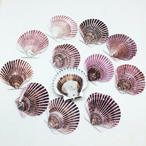 PEPPERLONELY 12 PC Caribbean Pecten Sea Shells, 3 Inch ~ 3-1/4 Inch (Small Shell Scallop)