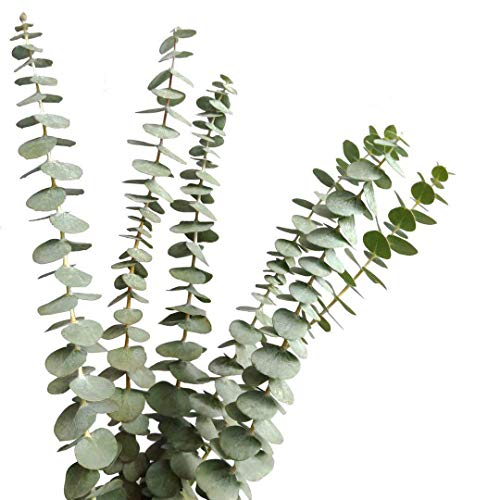 TRvancat Dried Real Eucalyptus Branches 15Pcs, Natural Eucalyptus Leaves for Flower Arrangement Wedding Home Decor (12 Stems) ()