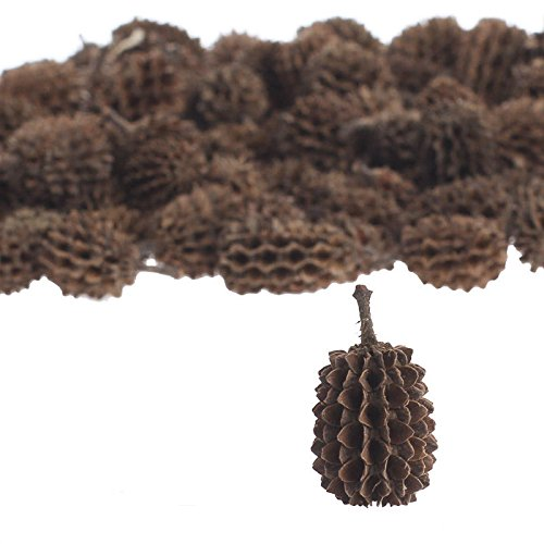 100% Natural Eco-friendly and Biodegradable Dried Casuarina Pods for Adding to Bowls, Vases, and Crafts - Eco Friendly Vases
