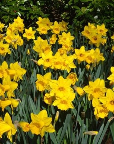 15 Bulbs of Daffodils Narcissi Mixed Colorful Flower Bulb