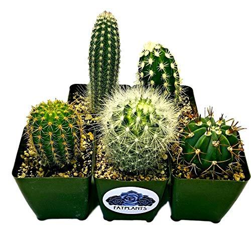 Fat Plants San Diego Large Cactus Plant(s) (2) by Fat Plants San Diego (Image #6)