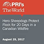Hero Sheepdogs Protect Flock for 20 Days in a Canadian Wildfire | Sarah Birnbaum