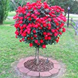 Knock Out Rose Trees- Double Knock Out Blooms on a Standard Tree- The Best Rose Tree to Grow in a Container