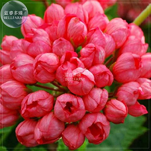BELLFARM Geranium 'Tulip Orangish Red Bud' Perennial Flower Seeds, 10 seeds, petals won't unfold big blooms small balloon