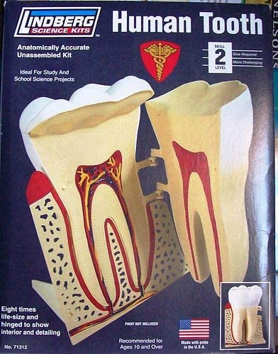 New Lindberg Human Tooth Anatomically Accurate Correct Plastic Science Model Kit