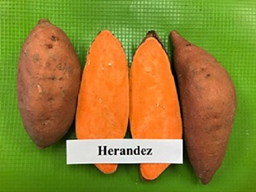 (10 Sweet Potato Plants/Slips - Hernandez, Purple-stemmed with light red-skin and orange flesh)